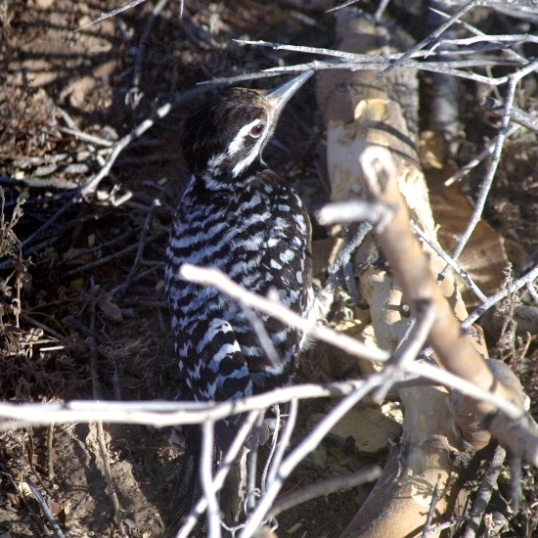 Why include this in a post about rugged he-man adventure? Because this little bugger was just below my trailer window, peeping loudly and pecking at a dead branch on the ground, looking for bugs. Every day is an adventure for a woodpecker in the low desert.