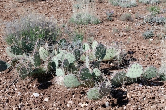 This type of cactus is all over the place.