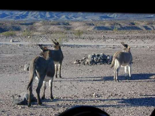 "And the ""elusive"" burros waltz past my office window  just a few days into my stay."