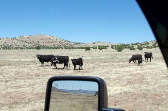 I couldn't call these cattle grass-fed, but they are free to wander.
