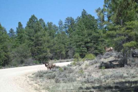 The initial drive in with trailer in tow netted a view of three elk about to cross the road at the bend ahead!