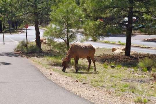 On my way to Pioneer Cemetery, one of the very few cemeteries in a national park, I came across three female elk that were slowly chomping their way toward the Plaza.