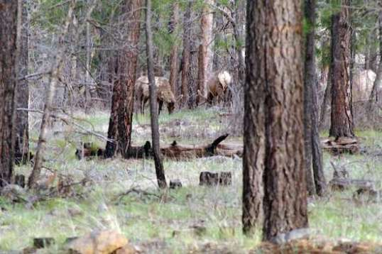 More elk within view of the campsite, only these ones are still alive!