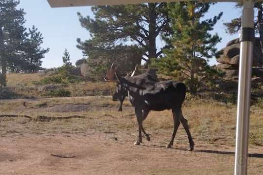 This moose got with about thirty feet of the camper as he walked by.