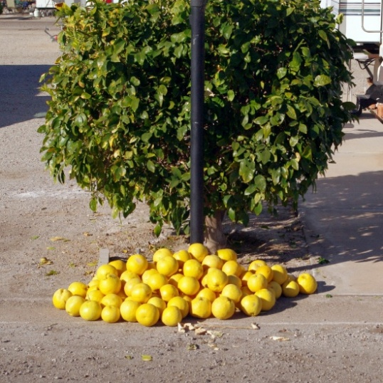 Across the drive from my site, this little grapefruit tree is typical of all in the park. They will be stripped by the park February 1 and the fruit discarded. It's now or never, so I helped my neighbor pull all the fruit off and leave it in a pile for anyone to take. I grabbed eight or nine. They're huge!