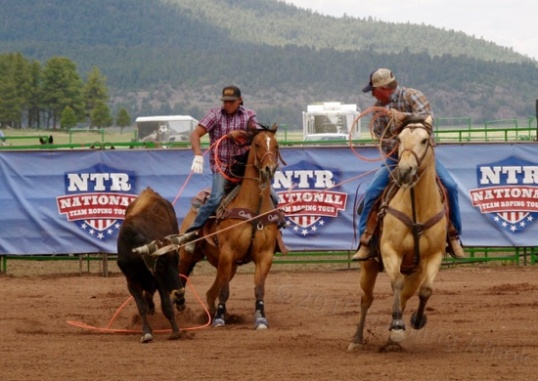 "The ""Heeler"" has the more difficult task of timing his throw such that the loop passes underneath the steer's rear hooves, and he must pull it up fast once those hooves return to earth."