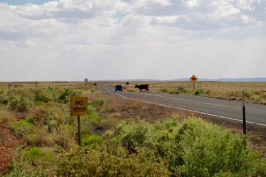 My timing was just perfect, in that I caught this cow crossing the road towards Meteor Crater. Does it get any more exciting??? I think not. You saw it here first.